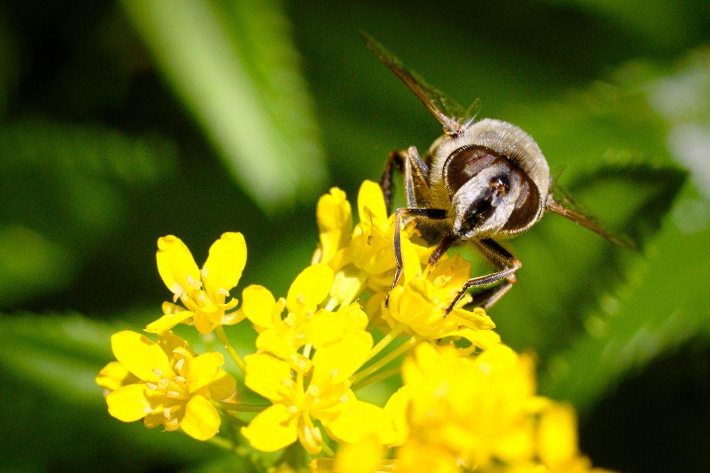 Une mouche qui se prenait pour une abeille