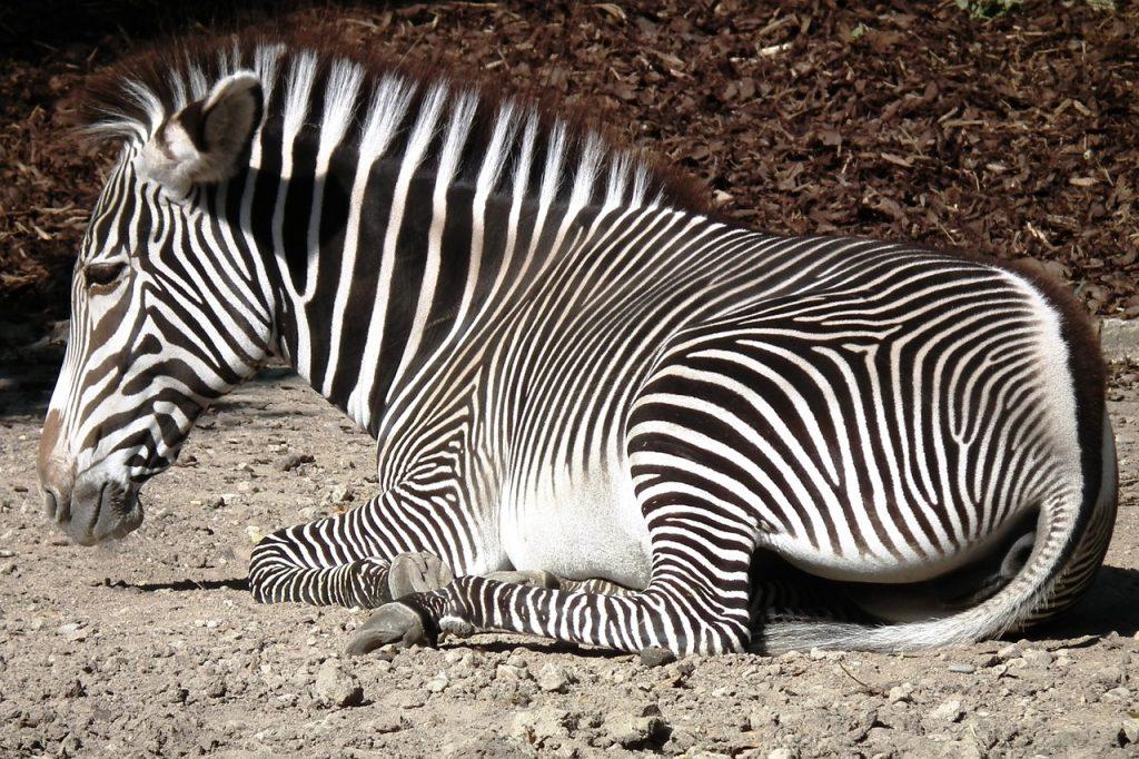 zebra-980721_1280
